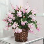 Blush Holiday Cactus in woven basket