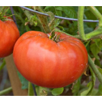 Late-Season Tomatoes