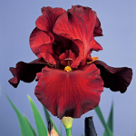 Iris germanica 'War Chief'