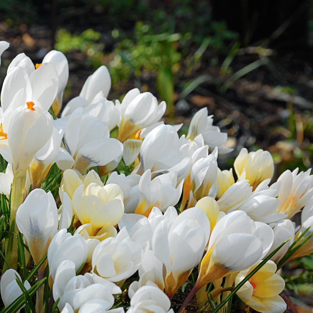 Crocus in White Shades