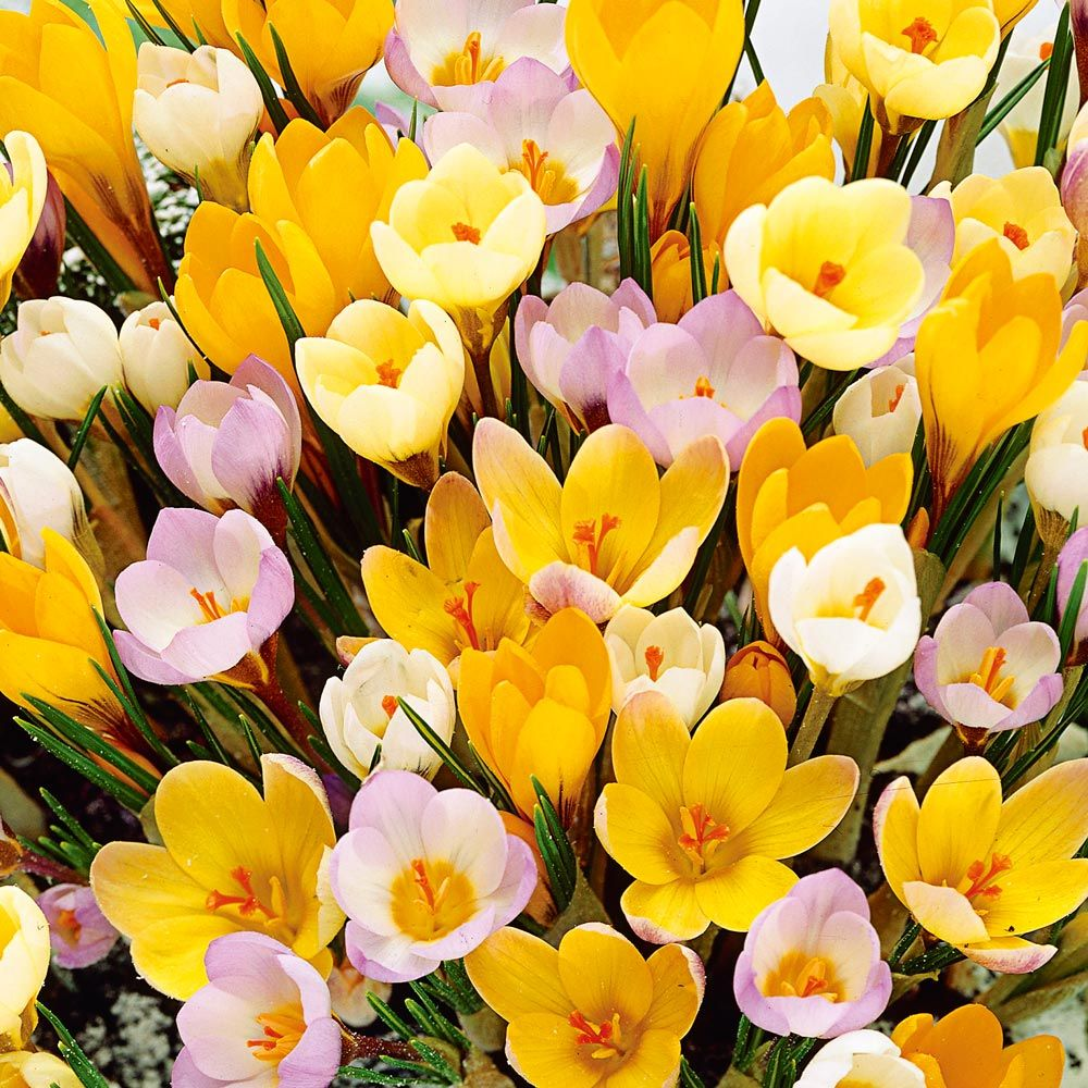 Crocus in Yellow Shades Mix