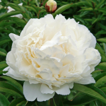 Peony 'Bowl of Cream'
