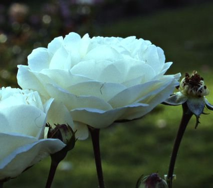 Rose 'White Dawn'