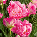 Tulip 'Double Sugar'