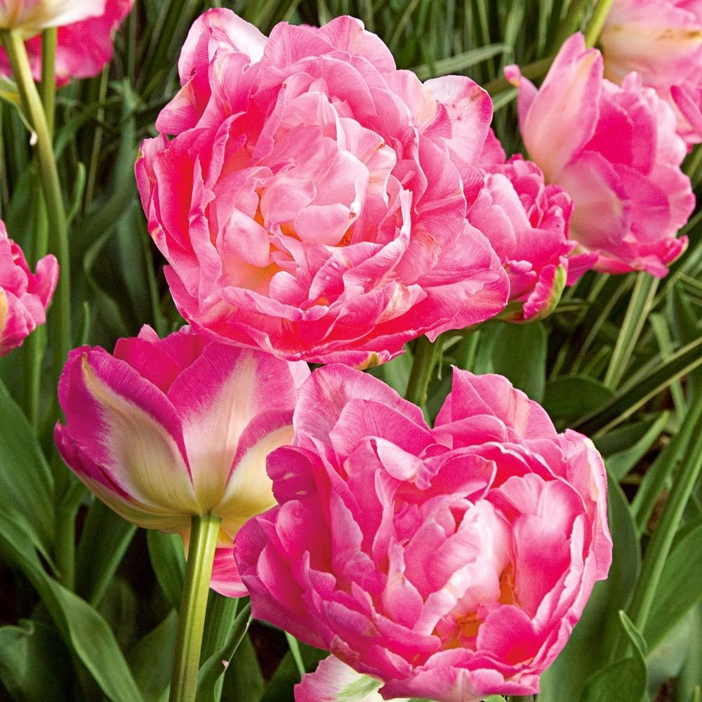 Refreshed Double Tulip Bulbs Perennial Flowers Red Yellow Bouquet Potted Plant