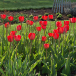 White Flower Farm Red Perennial Tulip