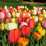 White Flower Farm Classic Perennial Tulip Mixture