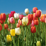 French Single Late Tulip Mix