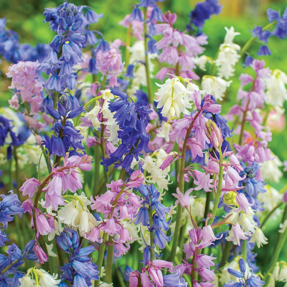 Spanish Bluebells Mix