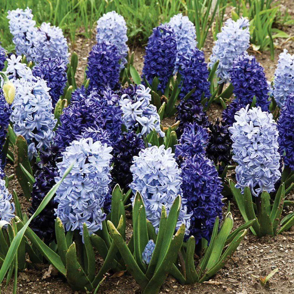 Blue Hyacinth Mix
