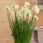 Paperwhite 'Wintersun' for your own containers, 24 bulbs