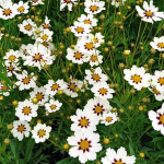 Coreopsis Big Bang™ 'Star Cluster'