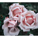 Rose 'New Dawn'