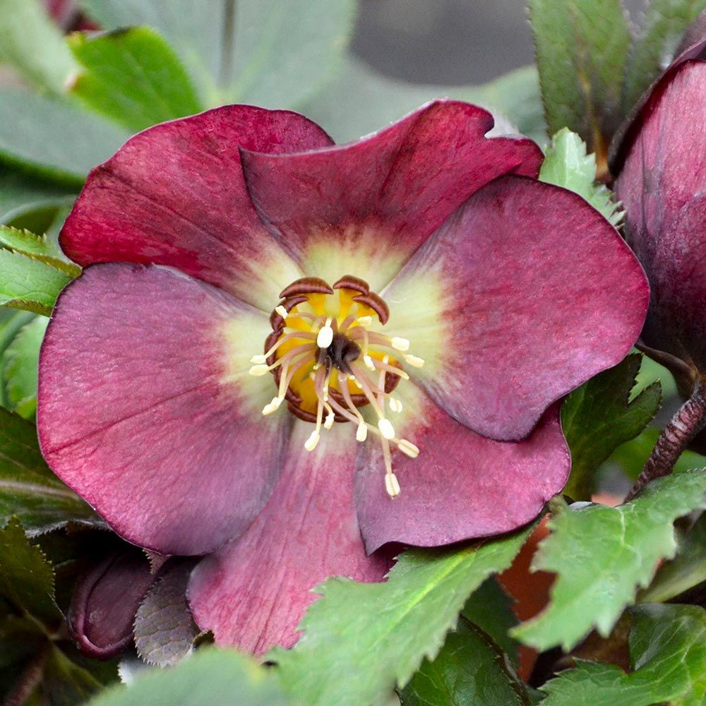 Helleborus Honeymoon® 'Rome in Red'