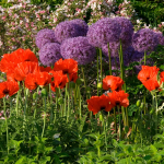 Allium & Poppy Collection