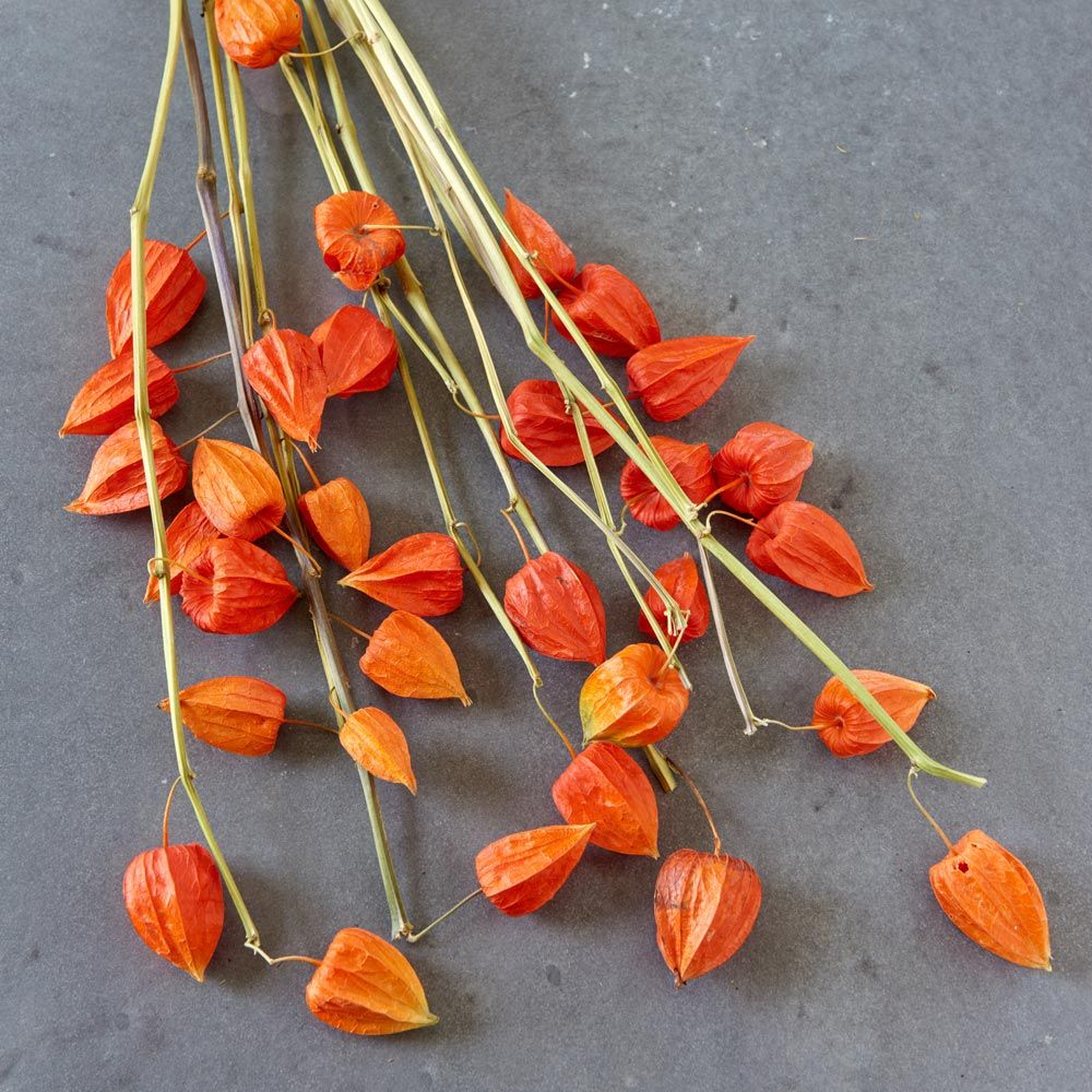 Preserved Chinese Lantern Stems