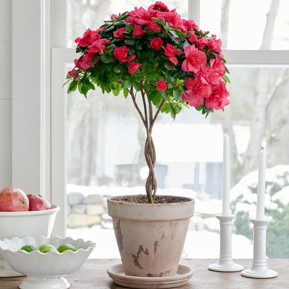 Pink Azalea Topiary in gray clay pot and saucer