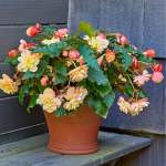 Begonia Fragrant Falls® Peach