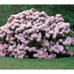 Rhododendron 'Jane Grant'