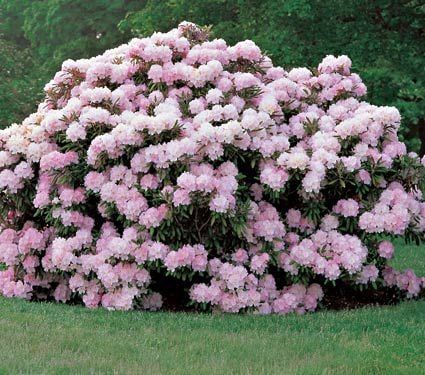 Rhododendron Jane Grant
