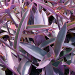 Tradescantia pallida 'Purple Queen'