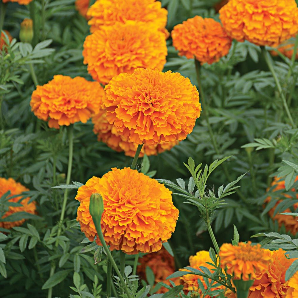 Tagetes erecta 'Giant Orange'