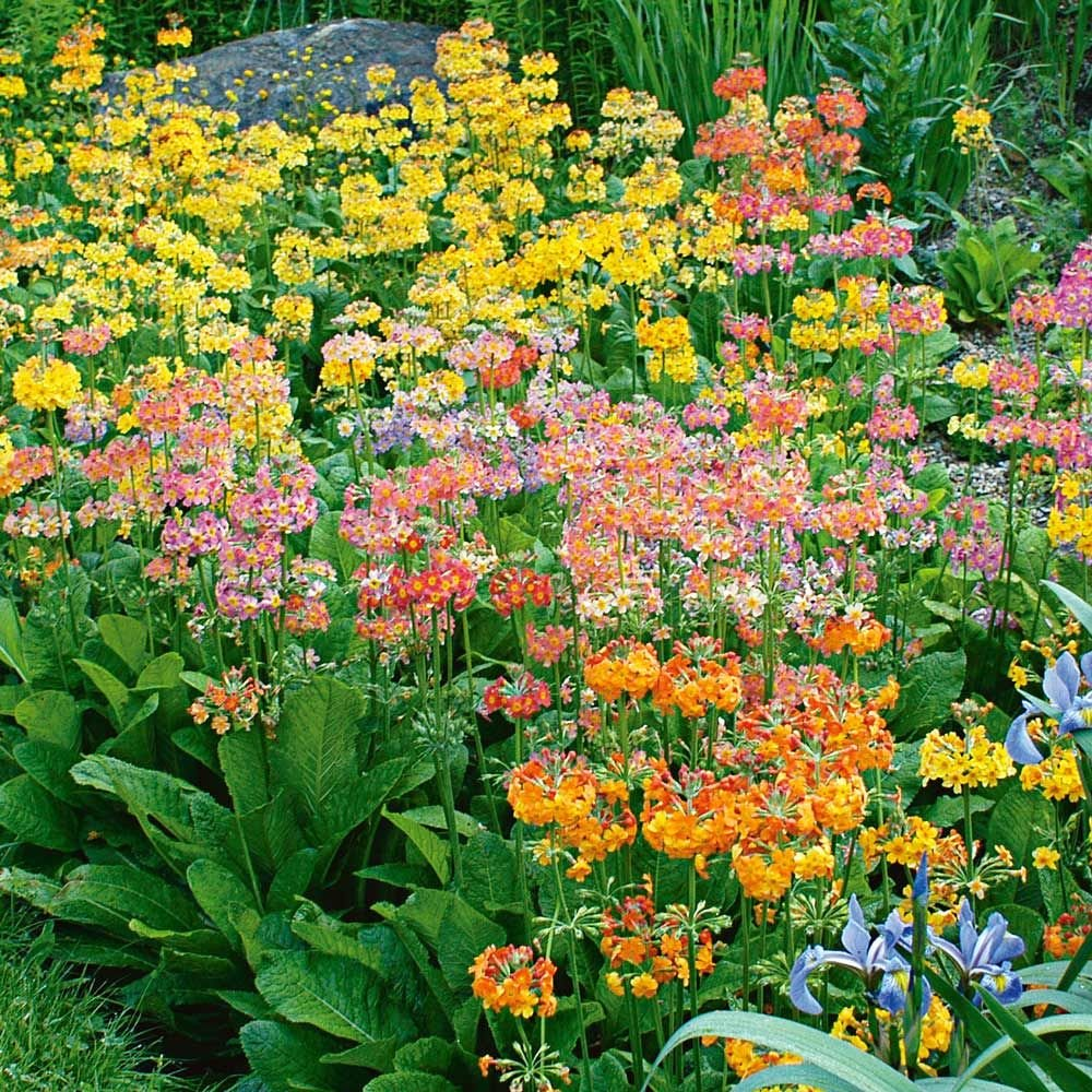 North Hill Strain Primulas