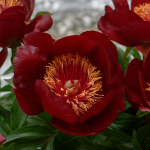 Peony 'Chocolate Soldier'