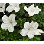 Azalea Bloom-A-Thon® White