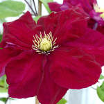 Clematis Charmaine™ Regal®