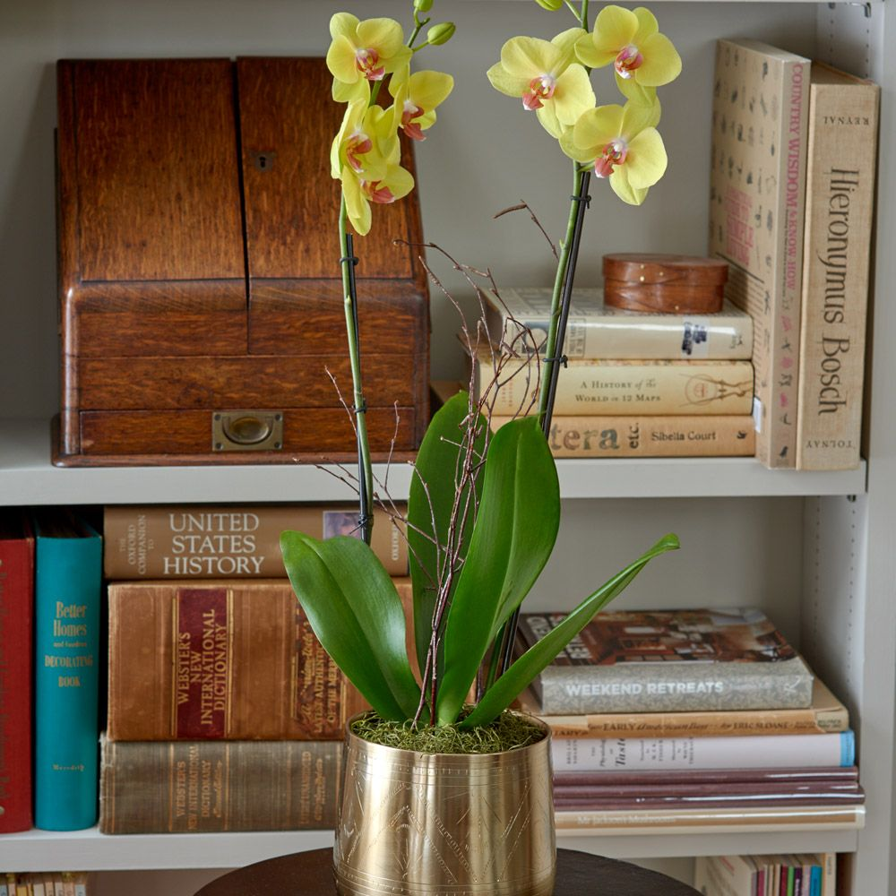 Yellow Moth Orchid in golden metal cachepot