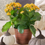 Yellow Kalanchoe in copper-toned cachepot