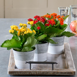 Brilliant Autumn Kalanchoe Trio