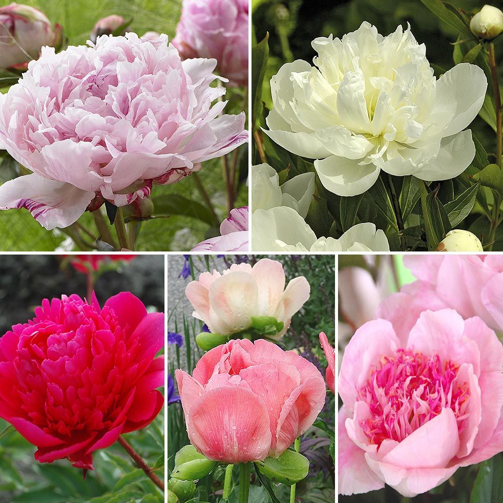 The Peony Parade Collection