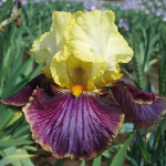 Iris germanica 'Payback Time'
