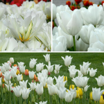 Long-Season White Tulip Cutting Garden