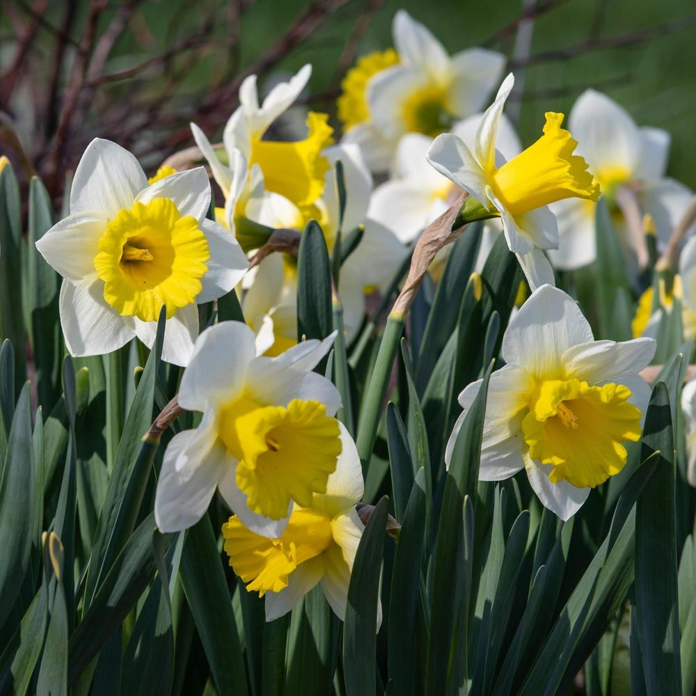 Narcissus 'Cornish King'