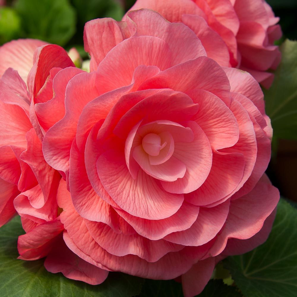 Begonia 'Sweet Dreams' Blackmore & Langdon