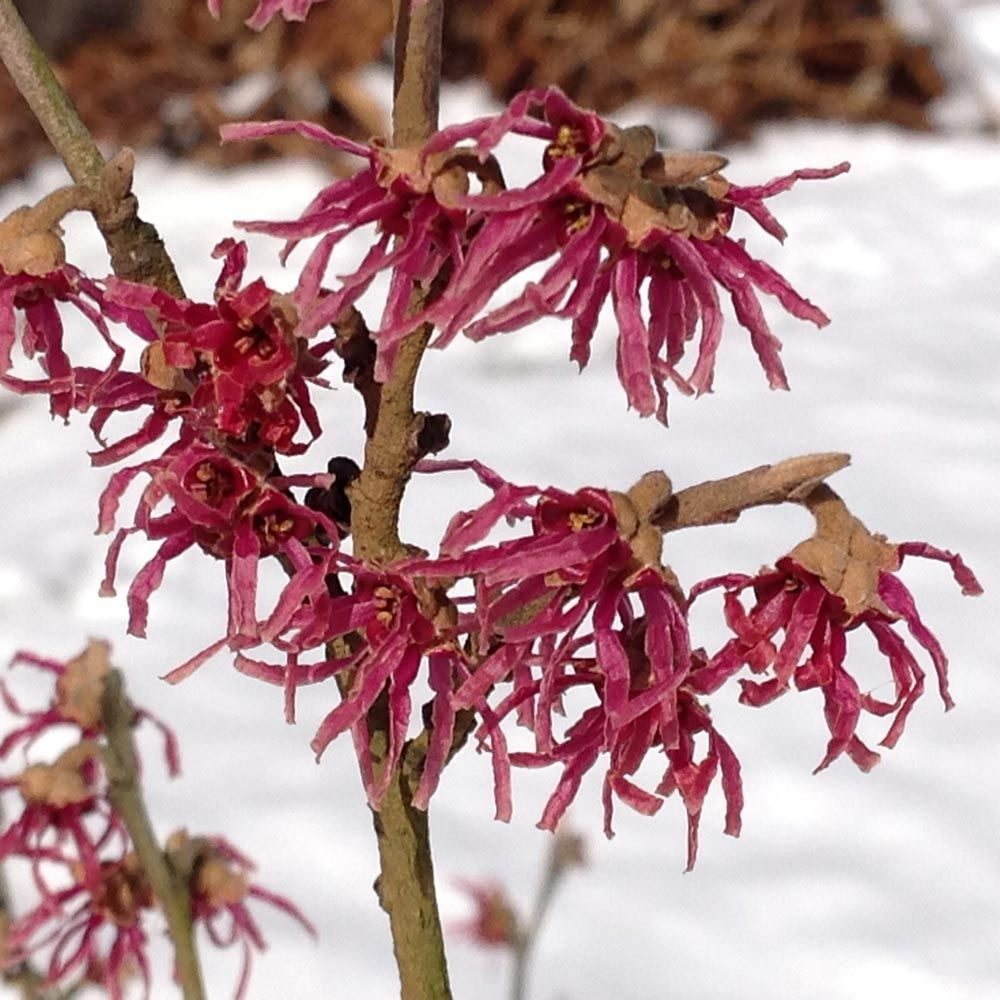 Hamamelis Pair of Winter Flowering Witch Hazels in Red /& Gold
