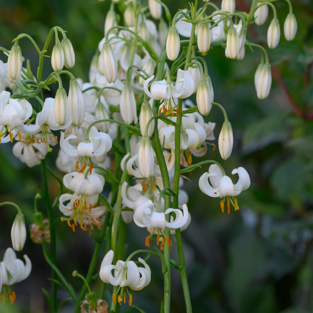 Lilium martagon 'Snowy Morning'