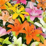 Pastel Shades Asiatic Lily Mix for Naturalizing