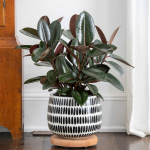 Burgundy Rubber Plant