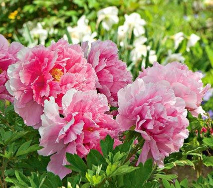 paeonia suffruticosa 39 seidai 39 tree peony white flower farm. Black Bedroom Furniture Sets. Home Design Ideas