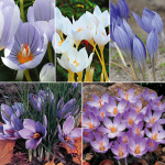 Fall-Blooming Crocus Mix