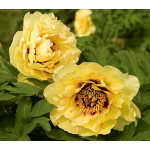 Paeonia suffruticosa High Noon - Tree Peony