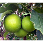 Columnar Apple Tangy Green™