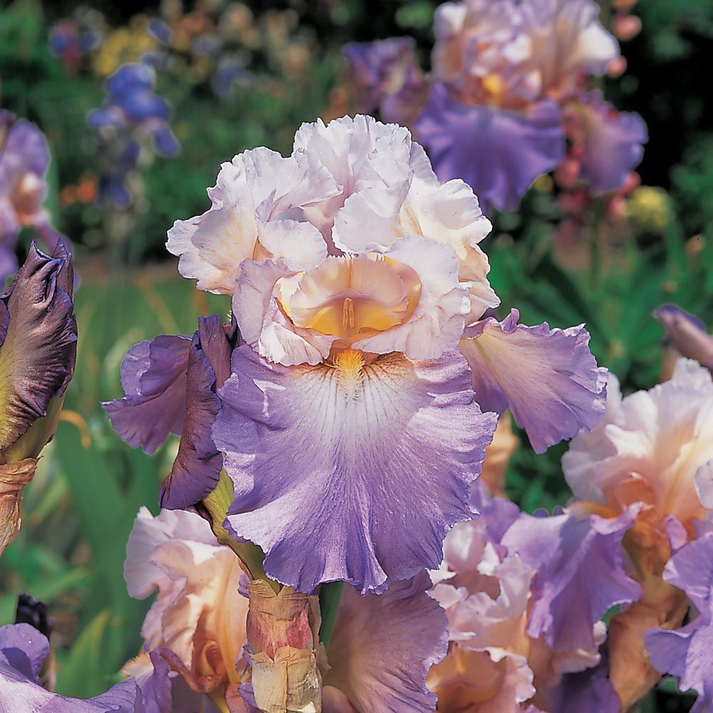 Iris germanica 'Mother Earth' - Reblooming
