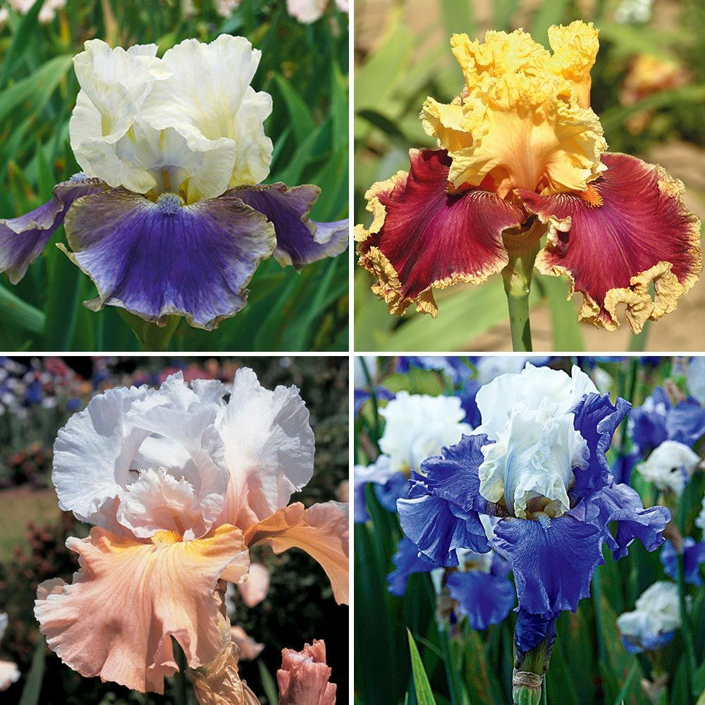 Pride of the Border Bicolor Iris Collection - 4 plants