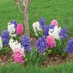 Hyacinthus May Day Bouquet Collection