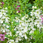 Angelonia angustifolia Archangel™ White